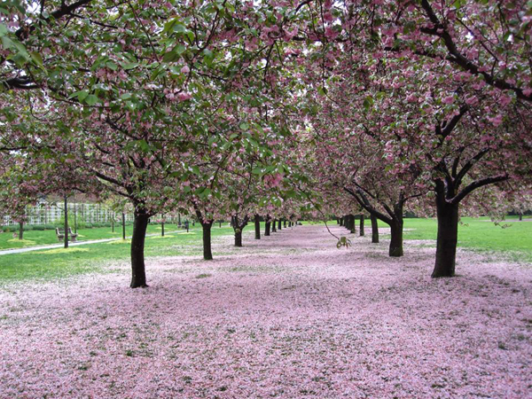 Brooklyn Botanic Cherry Blossoms