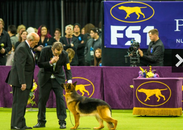 westminster dog show msg judging