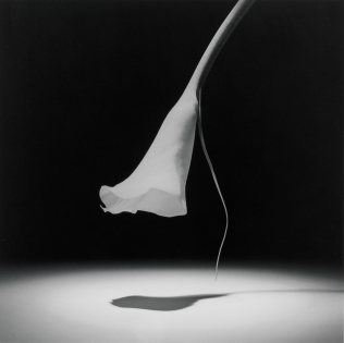 calla lily mapplethorpe 1986