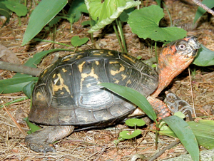Robert Eastern box turtle