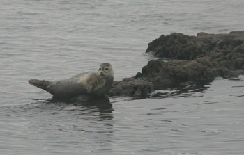 harbor seal, hempstead bay, long island
