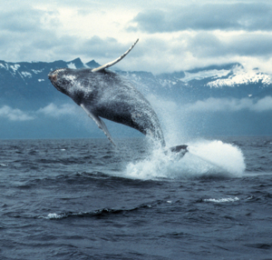 Whales and Alaska: Spirit of the Wild