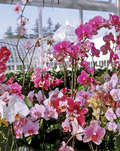 The Orchid Show: On Broadway; pink orchids at New York Botanical Garden
