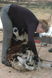 Rainbeau Ridge Sheep Shearing at John Jay Homestead