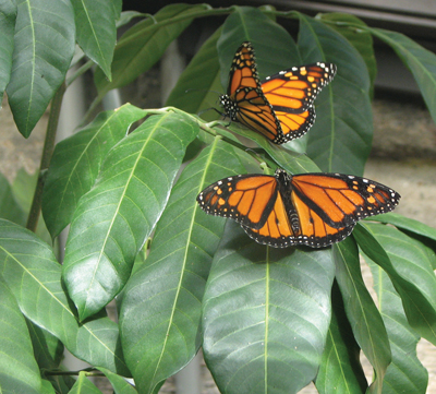 Walk Among Live Butterflies at Greenburgh Nature Center
