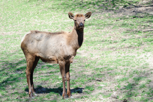 Olympia the Roosevelt elk, Queens Zoo