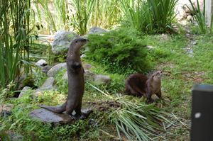otters at Stamford Museum and Nature Center