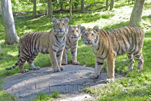 Amur tigers at the Bronx Zoo