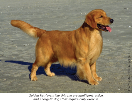 golden retreiver american kennel club