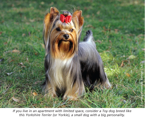 yorkie american kennel club