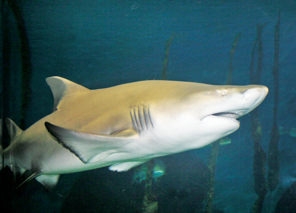 great white shark in aquarium