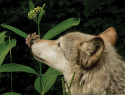 wolf smelling a flower