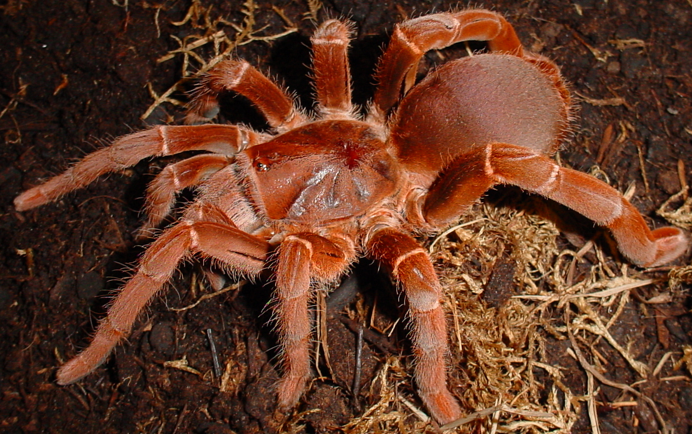 brown tarantula spider