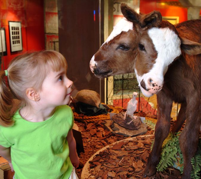 Ripley's Believe it Or Not two headed calf