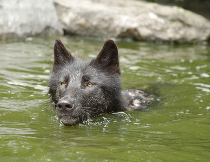 black wolf swimming