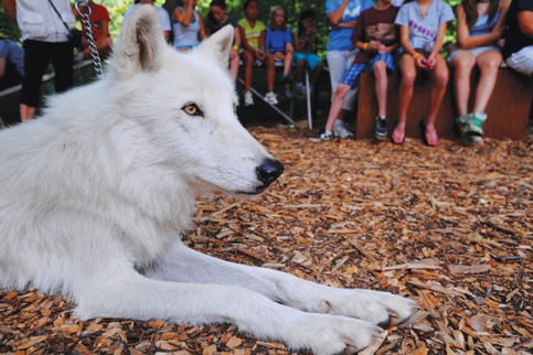 white wolf at conservation center