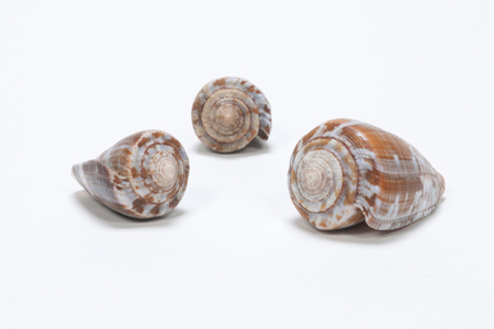 Cone Snail Shells from AMNH's Power of Poison exhibit