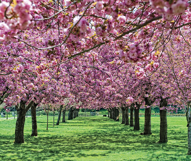 cherry blossom trees at brooklyn botanic garden