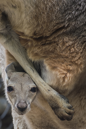 kangaroo joey in pouch