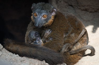 baby collared lemurs at bronx zoo