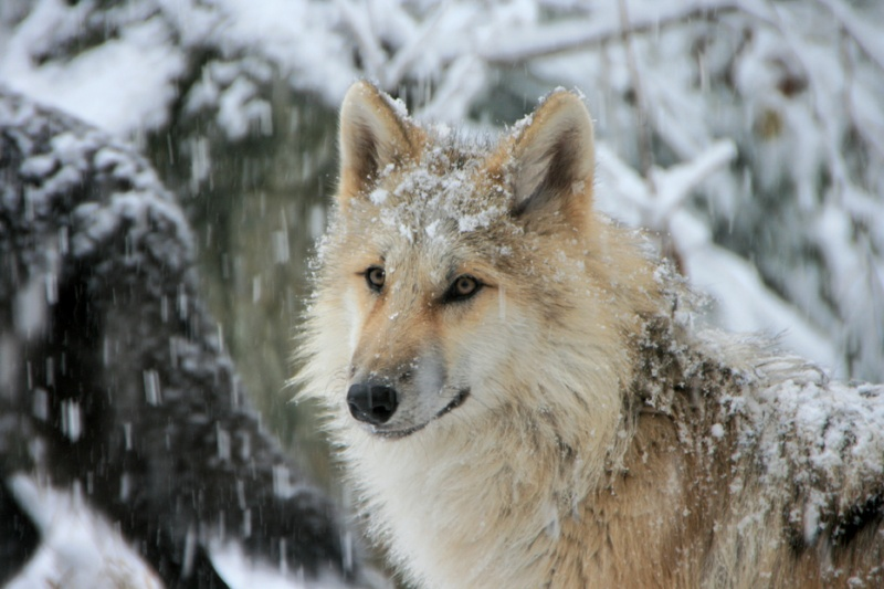 westchester wolf conservation center