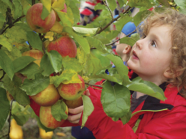 girl picking apples at an orchard
